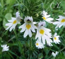Euphrasia officinalis.