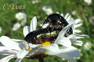 Cetonia aurata, Cétoine dorée, Hanneton des roses.