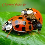 Photo 1:Accouplement d'Harmonia axyridis,