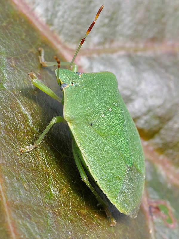 Palomena prasina punaise verte punaise des bois - Insecte de bois maison ...