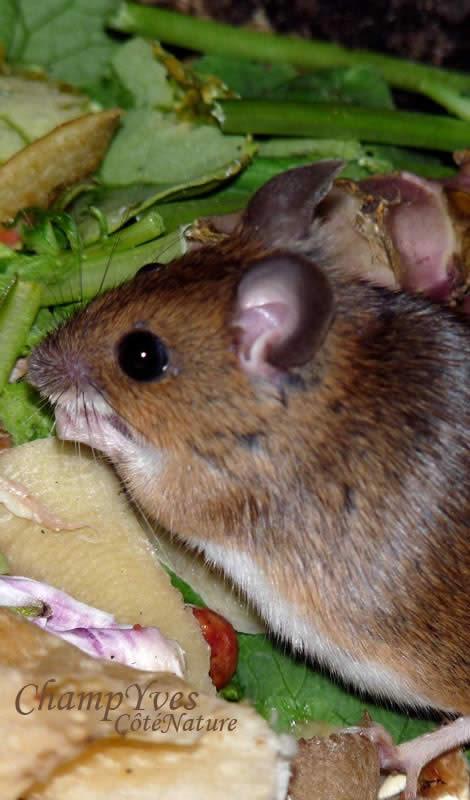 mulot sylvestre alimentation
