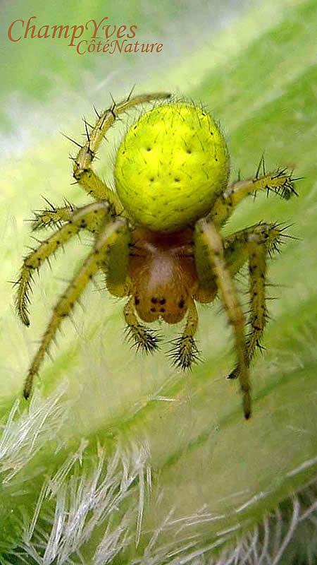 Araniella cucurbitina araign e courge araign e citrouille - Araignee des jardins en 6 lettres ...
