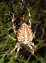 Photo 2 :Épeire diadème, Araneus diadematus