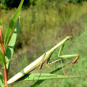 Photo 1 :  Mantis religiosa.