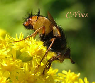 Photo 3 : Tachina fera, Tachinaire.
